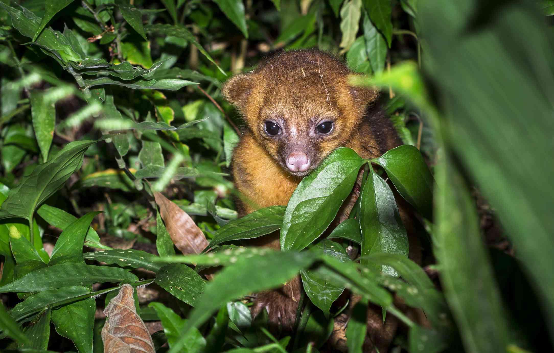 cute kinkajou hiding in jungle leaves