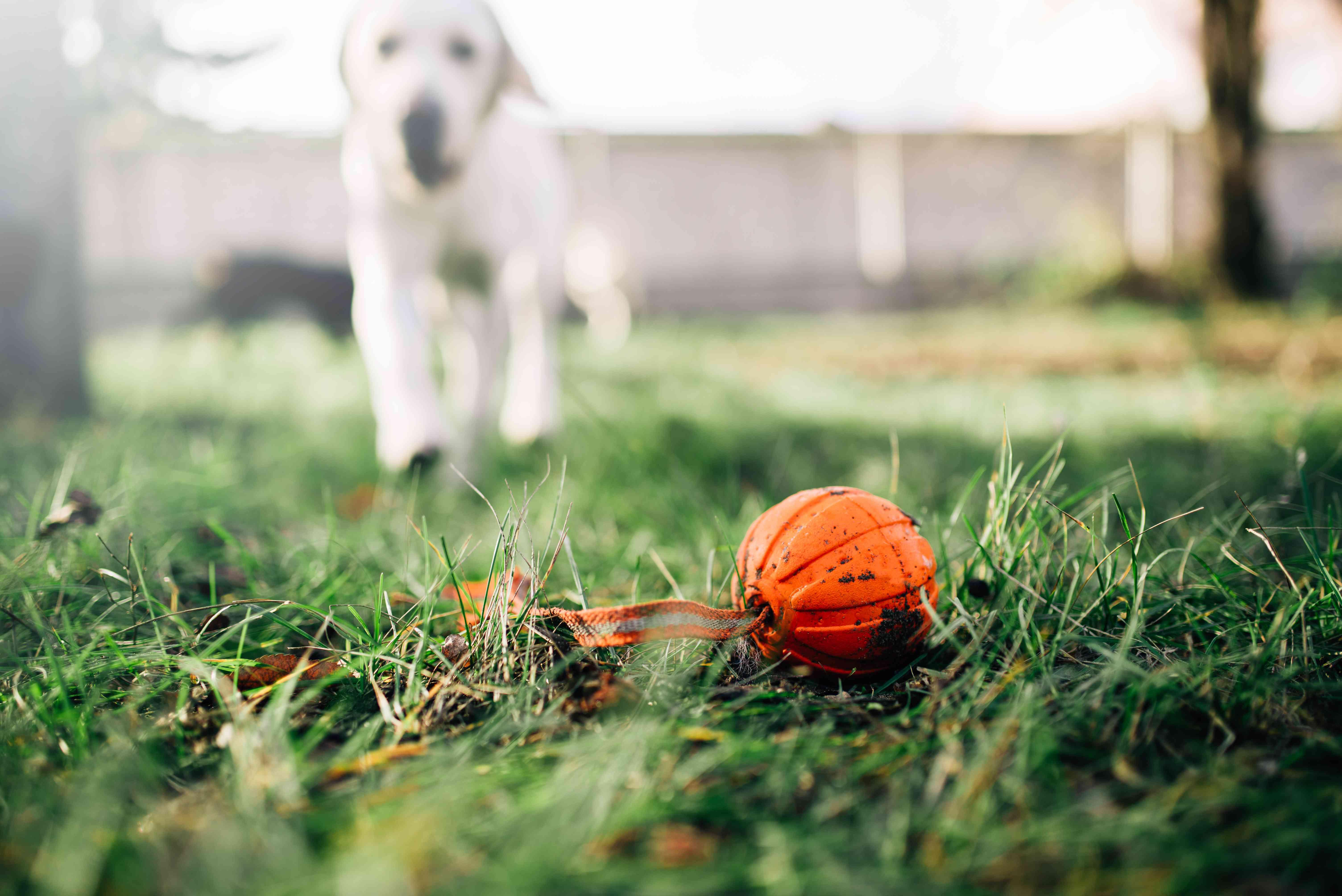 dog finds ball