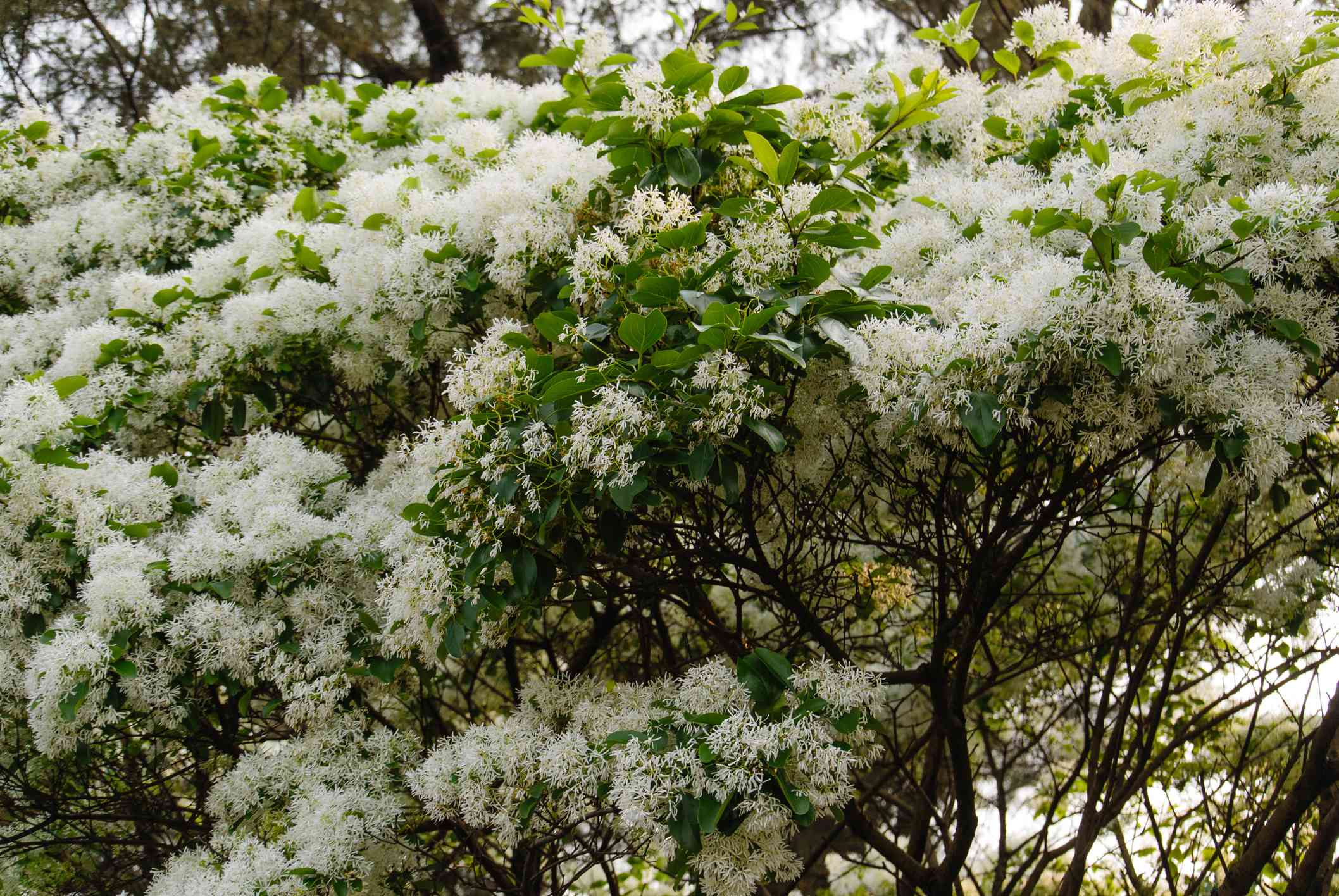 Images of Old Man's Beard tree with white blossoms and green leaves.