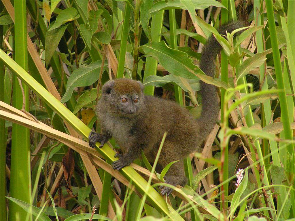 Adult Alaotran gentle lemur (Hapalemur alaotrensis) in papyrus vegetation in Alaotra marsh, near Andreba Gare village (Madagascar)