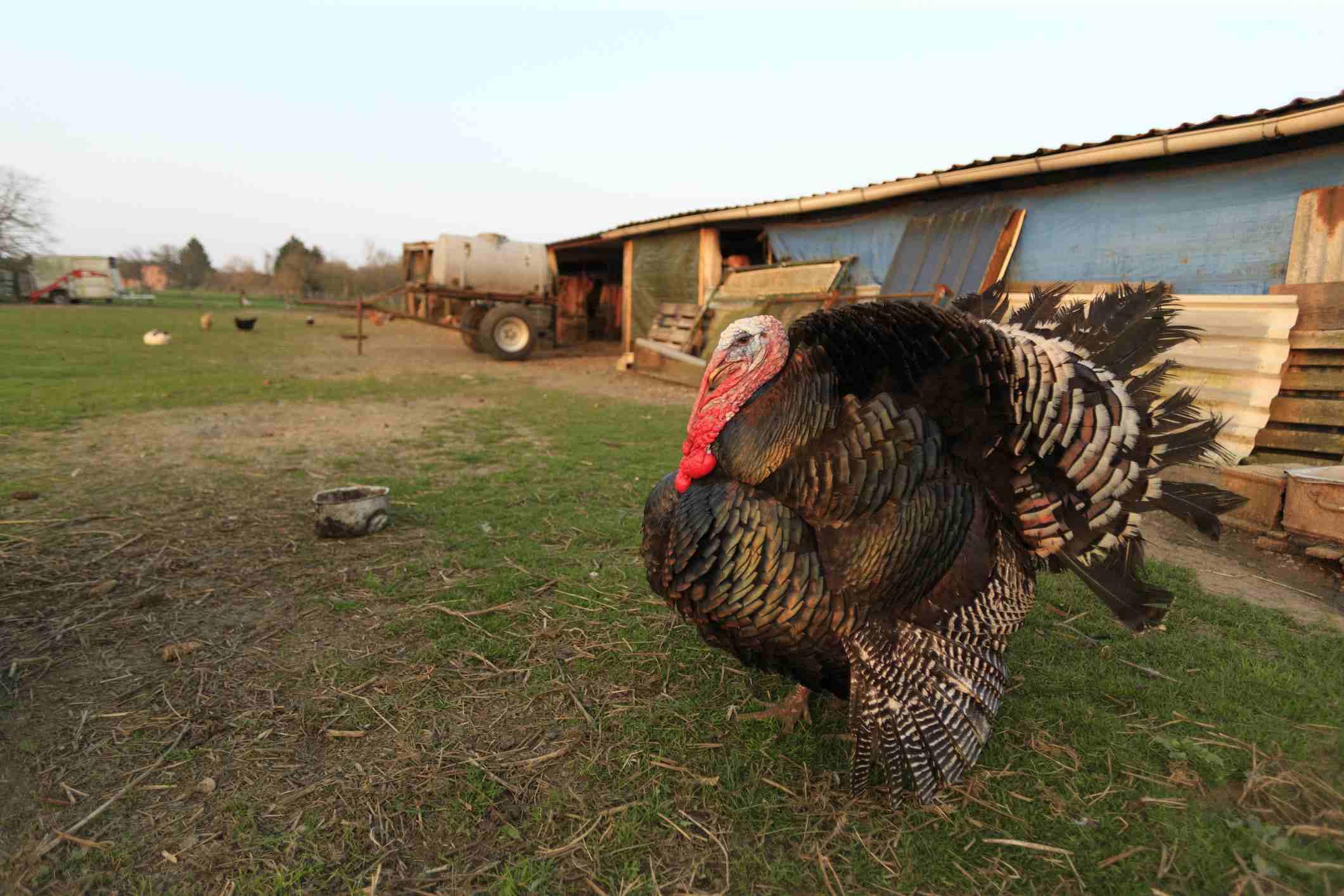 Turkey in a farm