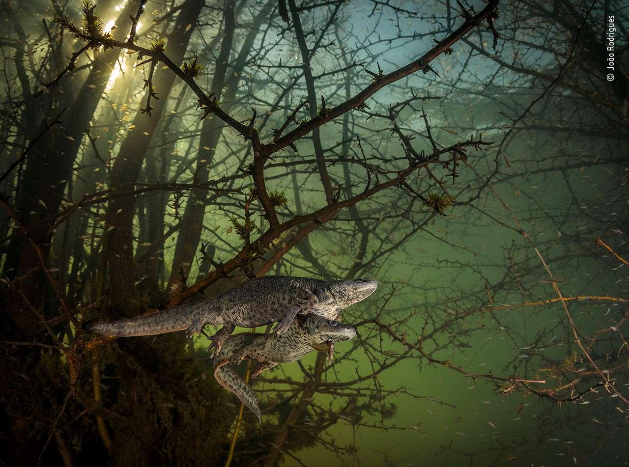 salamanders courting