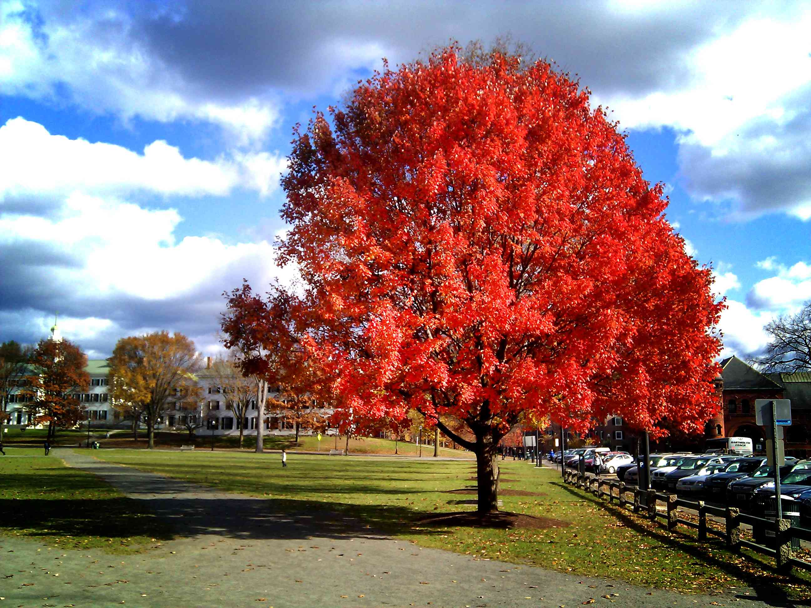 Red maple tree in full color in a grass field adjacent to a wood fence next to a parking lot