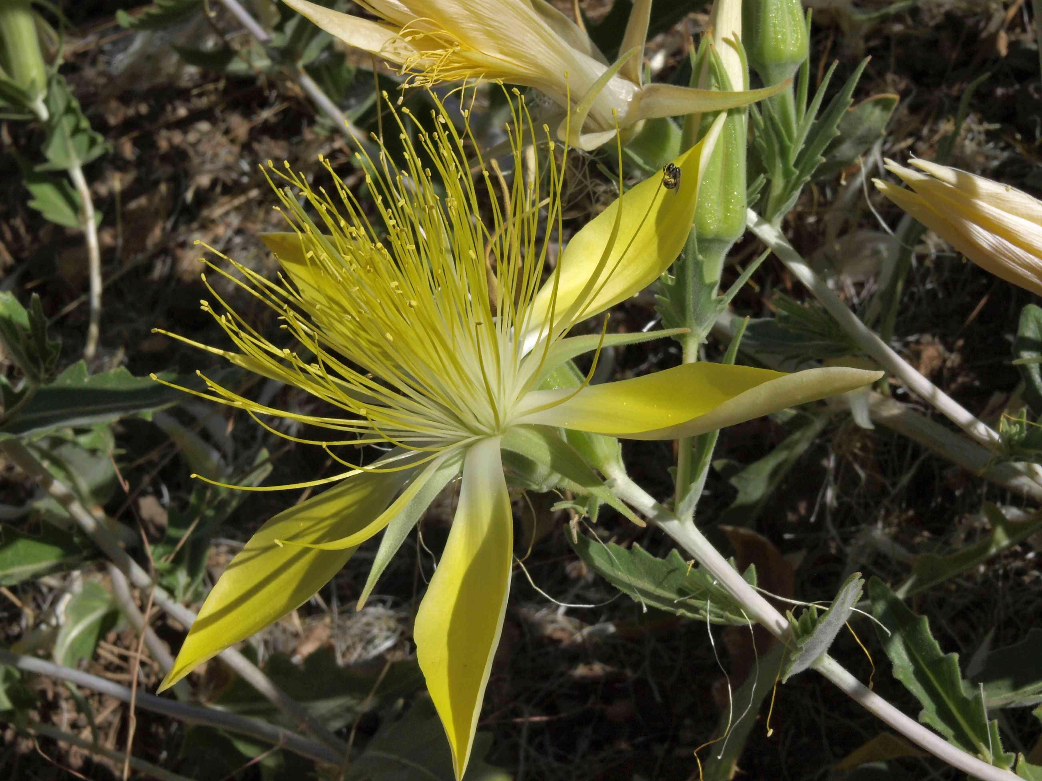 Yellow ten-petal blazing star blooming in the desert