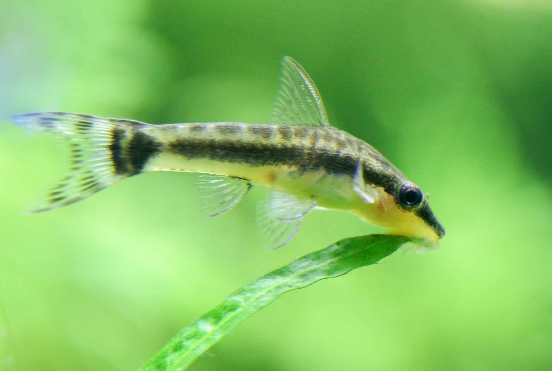 An otocinclus catfish eating algae off a leaf.