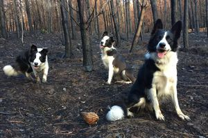 Border collies Olivia, Summer and Das in the woods on a non-working day.