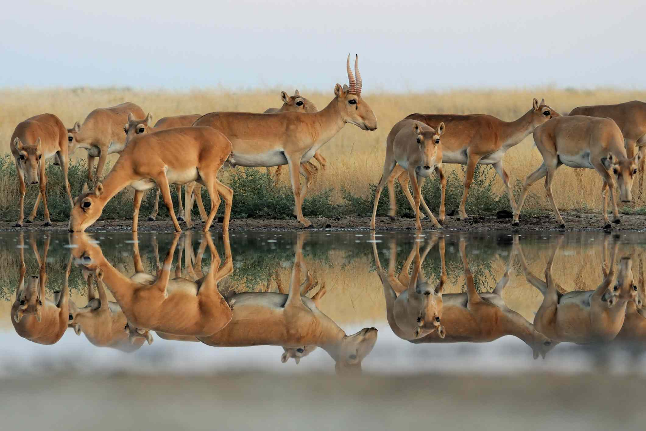 Wild Saiga antelopes in steppe near watering hole