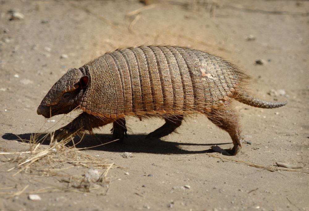 small armadillo with a slightly hairy carapace