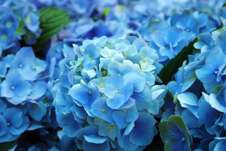 ¿Por qué no hay más flores azules?