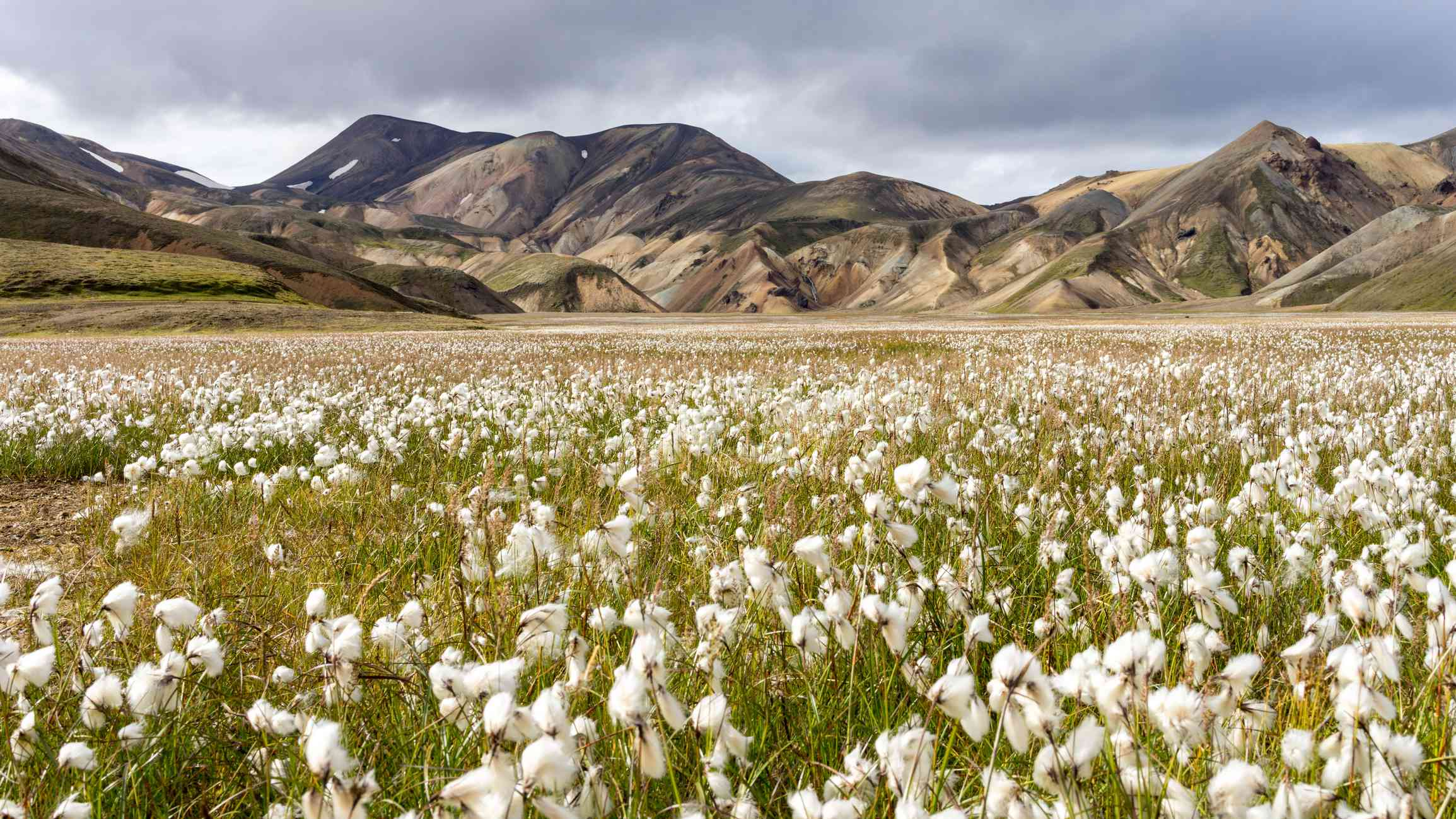 Cottongrass in Iceland