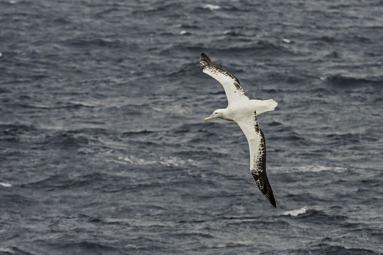 A wandering albatross, white with black-tipped wings, flies over the open ocean