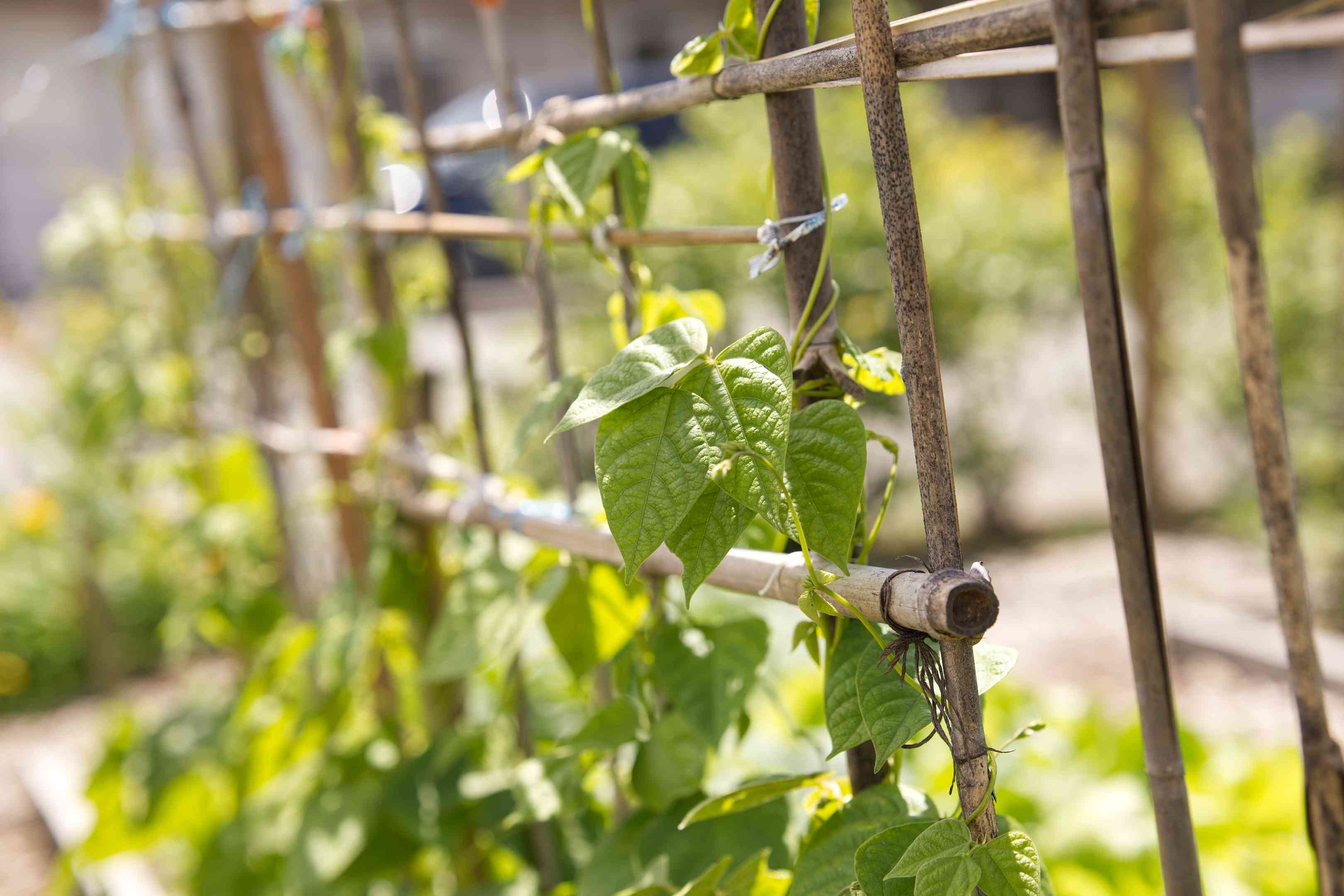 wooden and bamboo trellis with climbing green vines in garden
