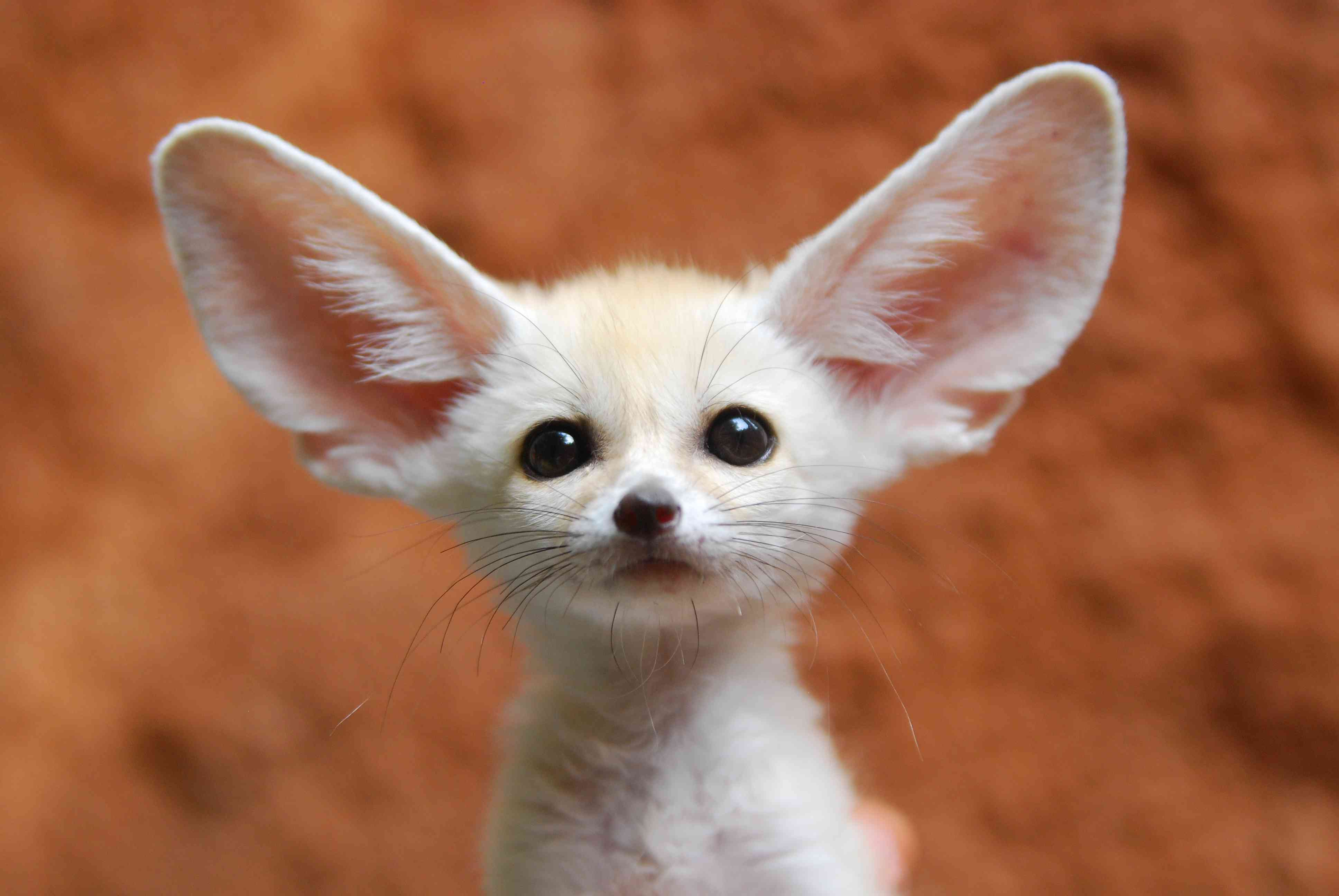 Young fennec fox with large, perky ears