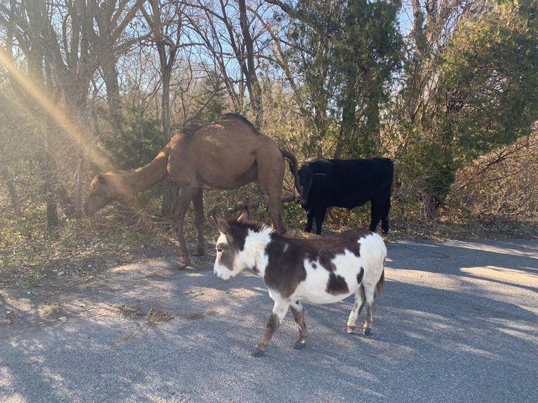 Camello, vaca y burro encontrados deambulando en el vecindario de Kansas