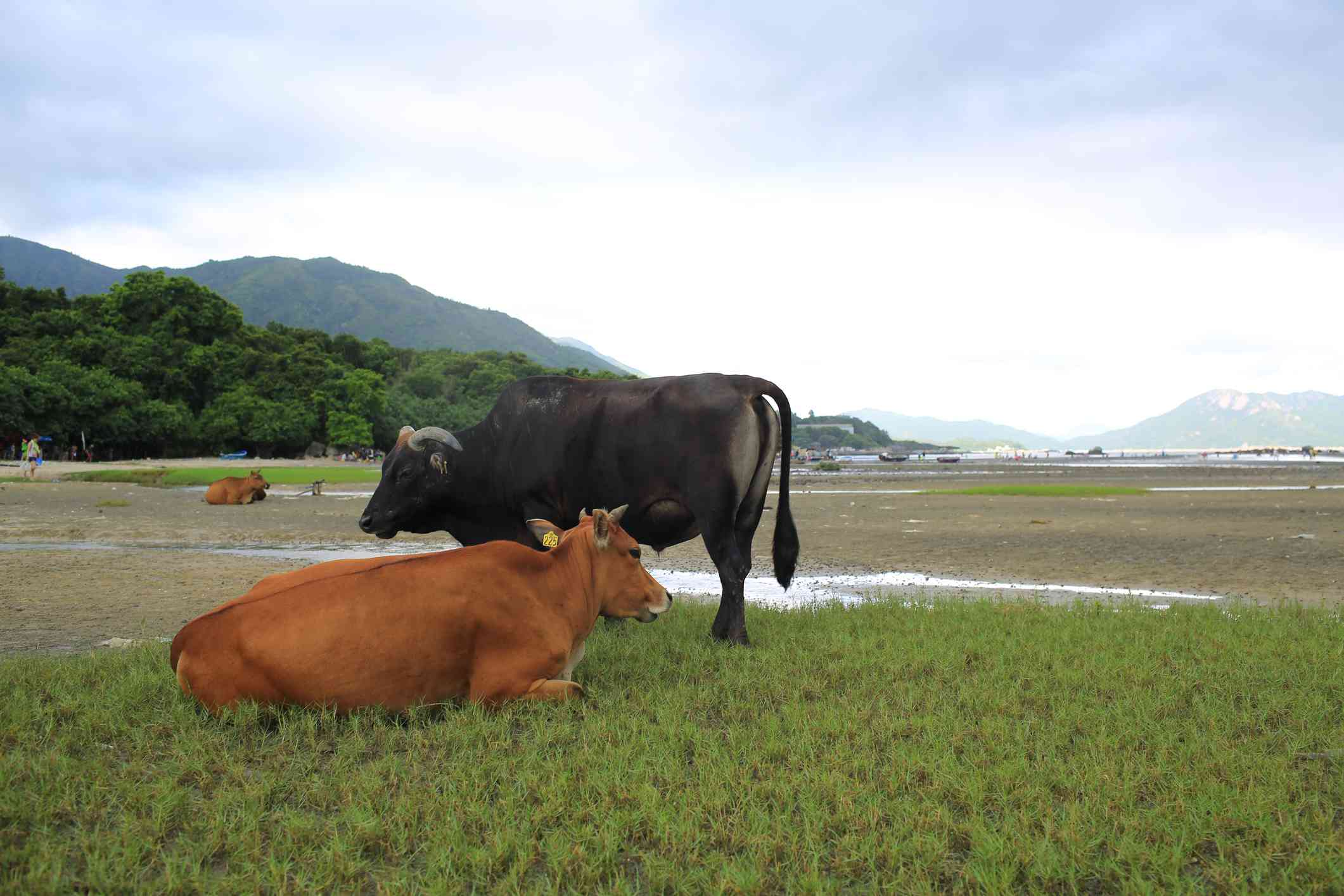 wild black and brown cows rest in open grass
