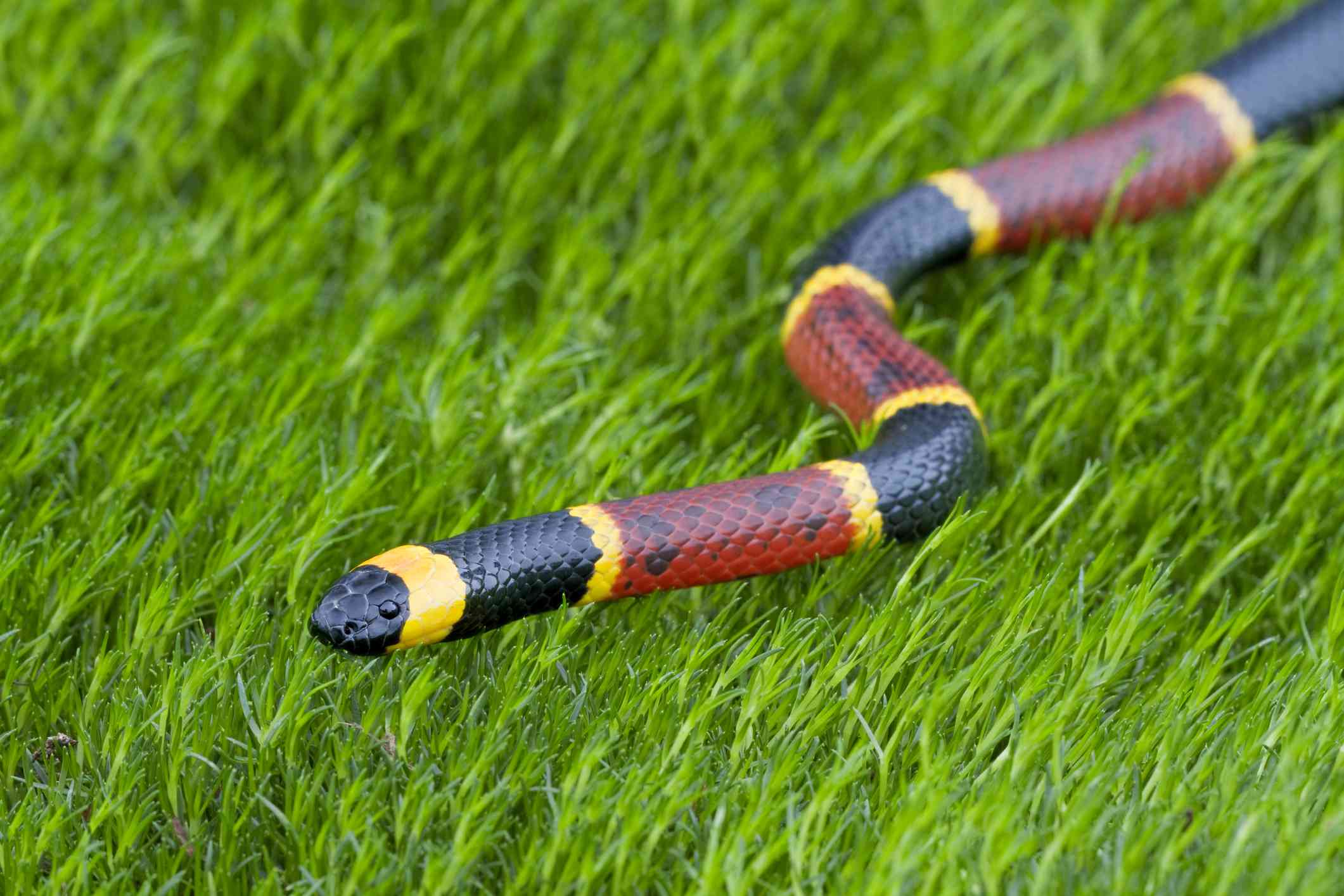 Eastern coral snake in grass