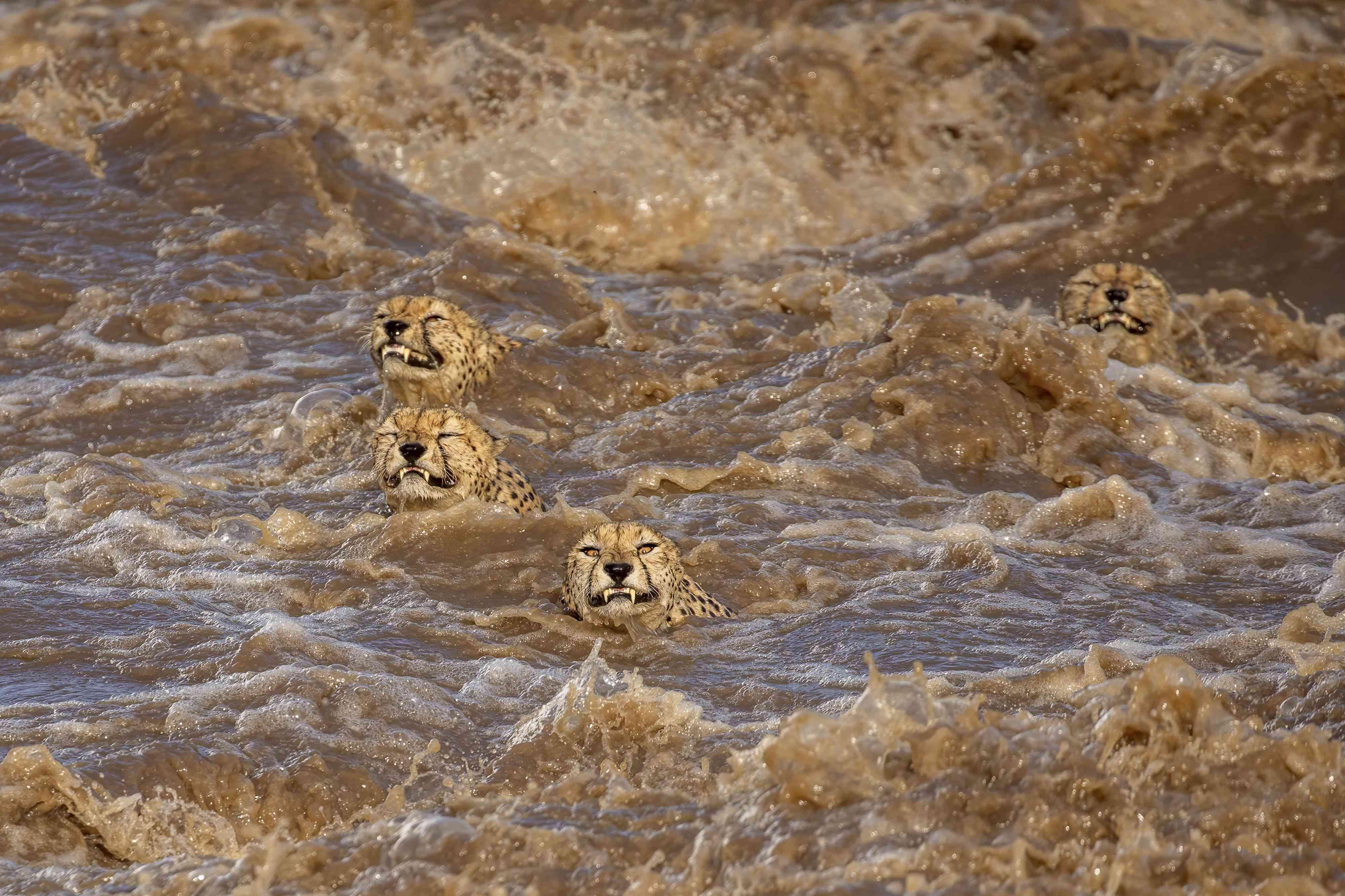 cheetahs swimming