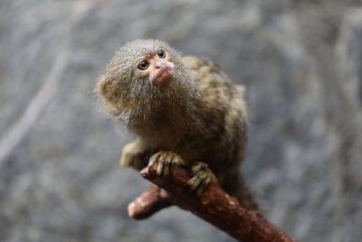 portrait of a pygmy marmoset in natural habitat