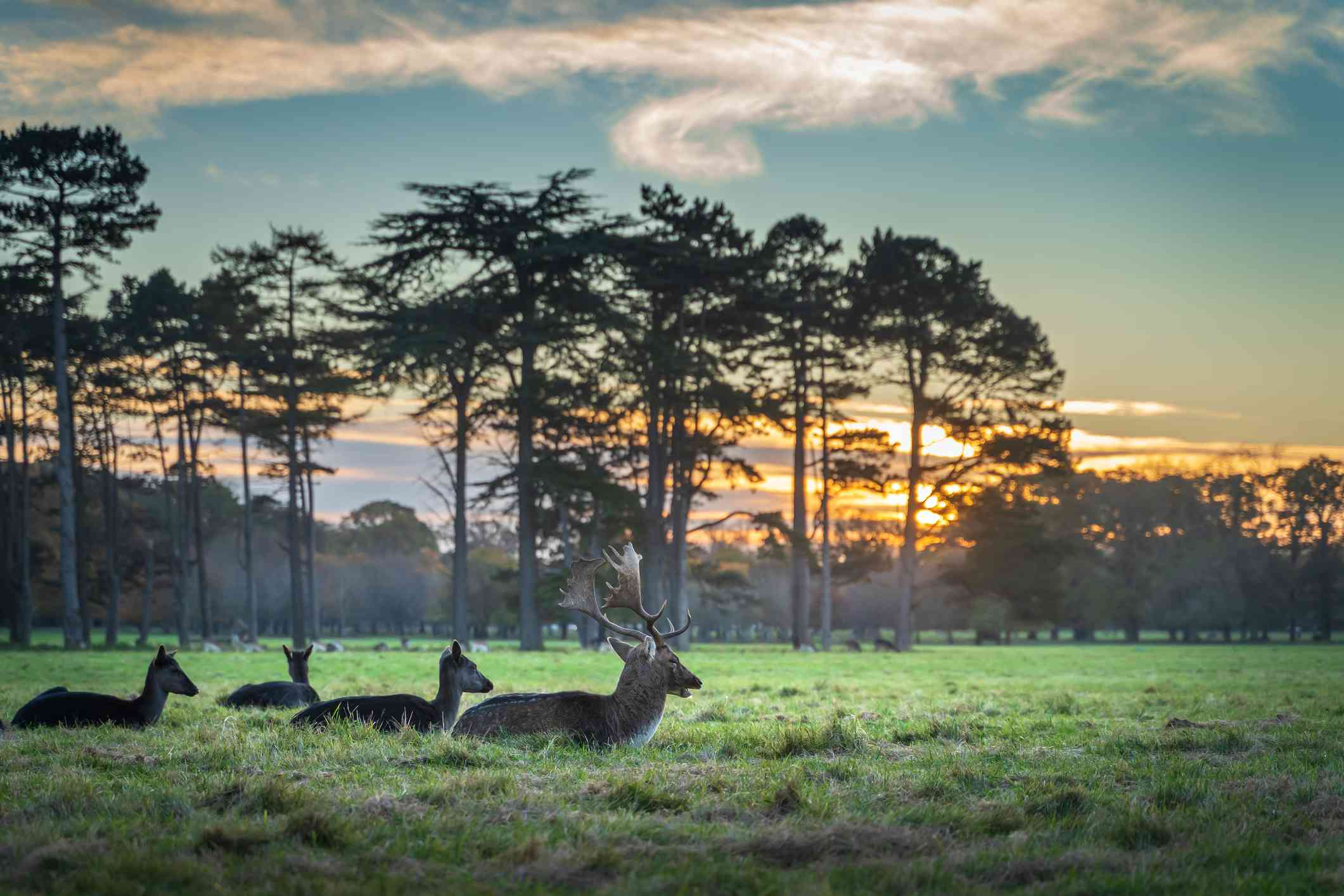 A herd of deer and stag lying on flat plain of green grass grass with distant trees, under a beautiful sunset at Phoenix Park, Dublin, Ireland
