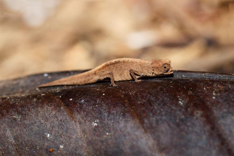 8 de los anfibios y reptiles más pequeños