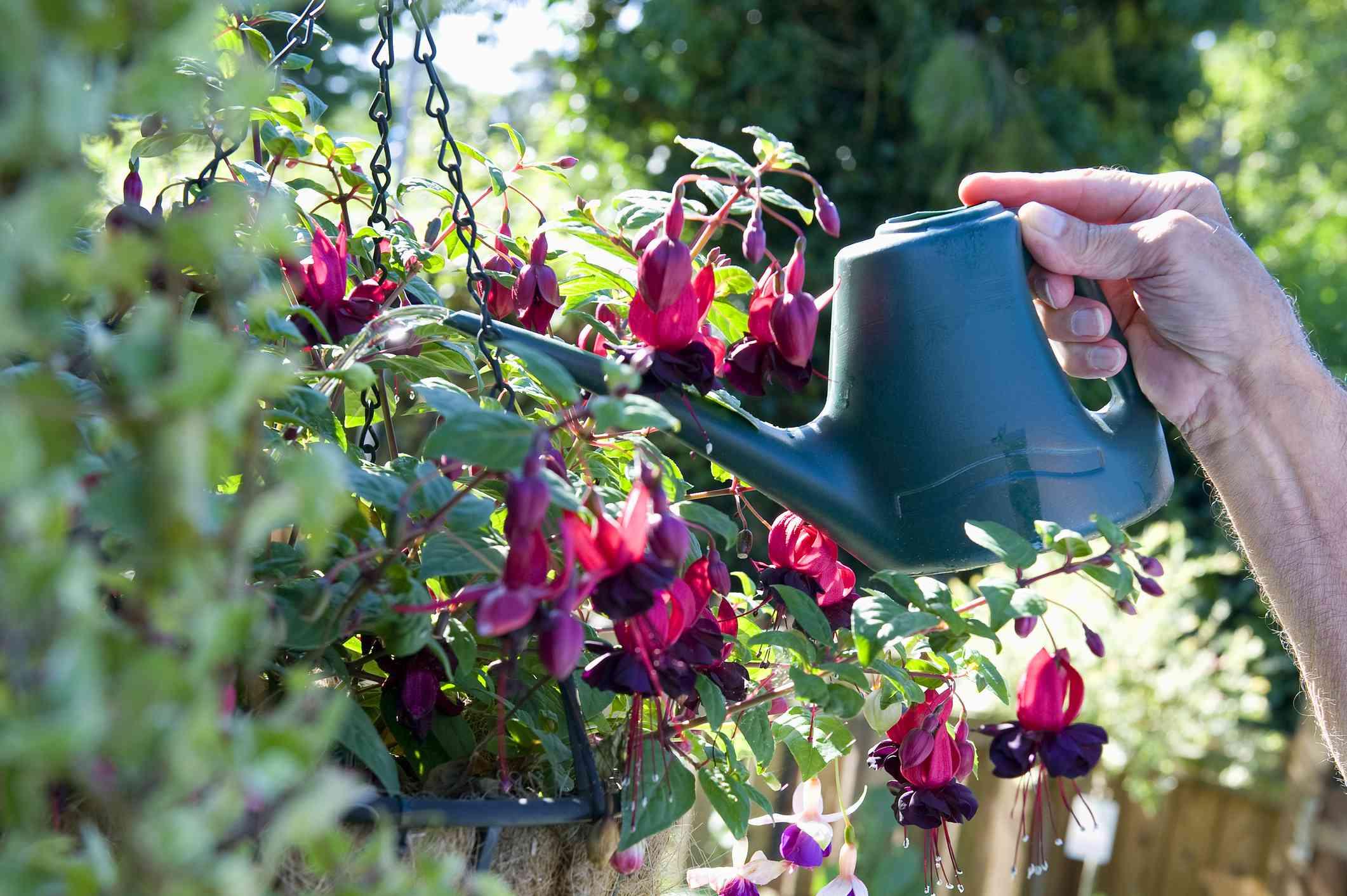 Mature male gardener watering fuchsia
