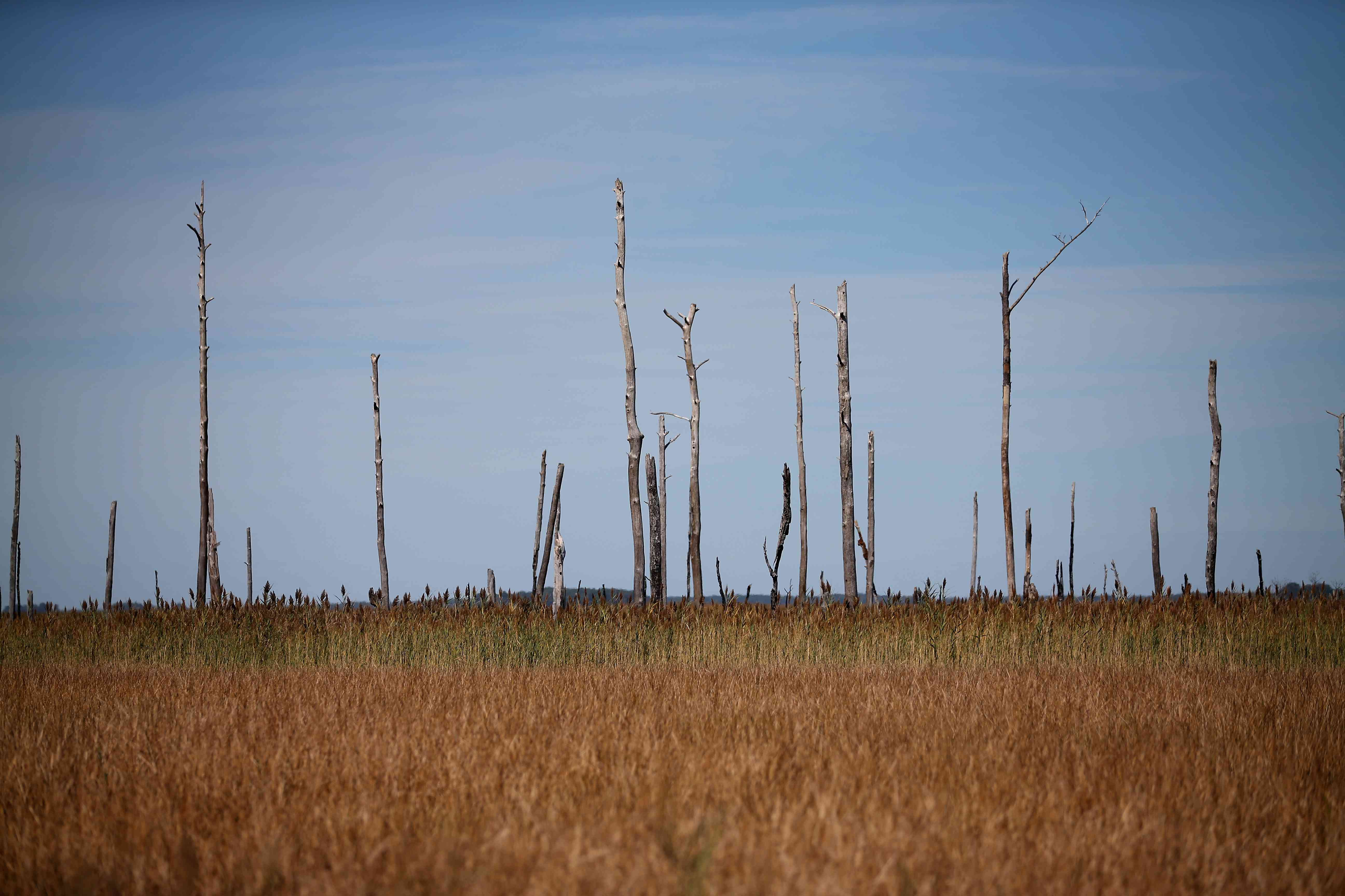 Ghost trees rise from Hoopers Island, Maryland, marsh