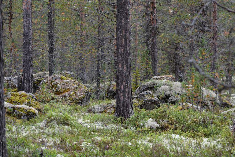 Esta lengua forestal de la época de los vikingos puede desaparecer pronto