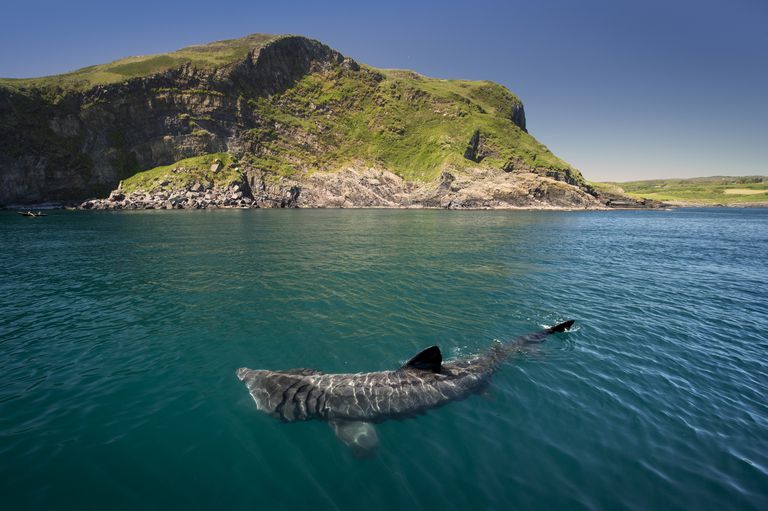 A basking shark swimming near the surface of the water in front of a green covered hill