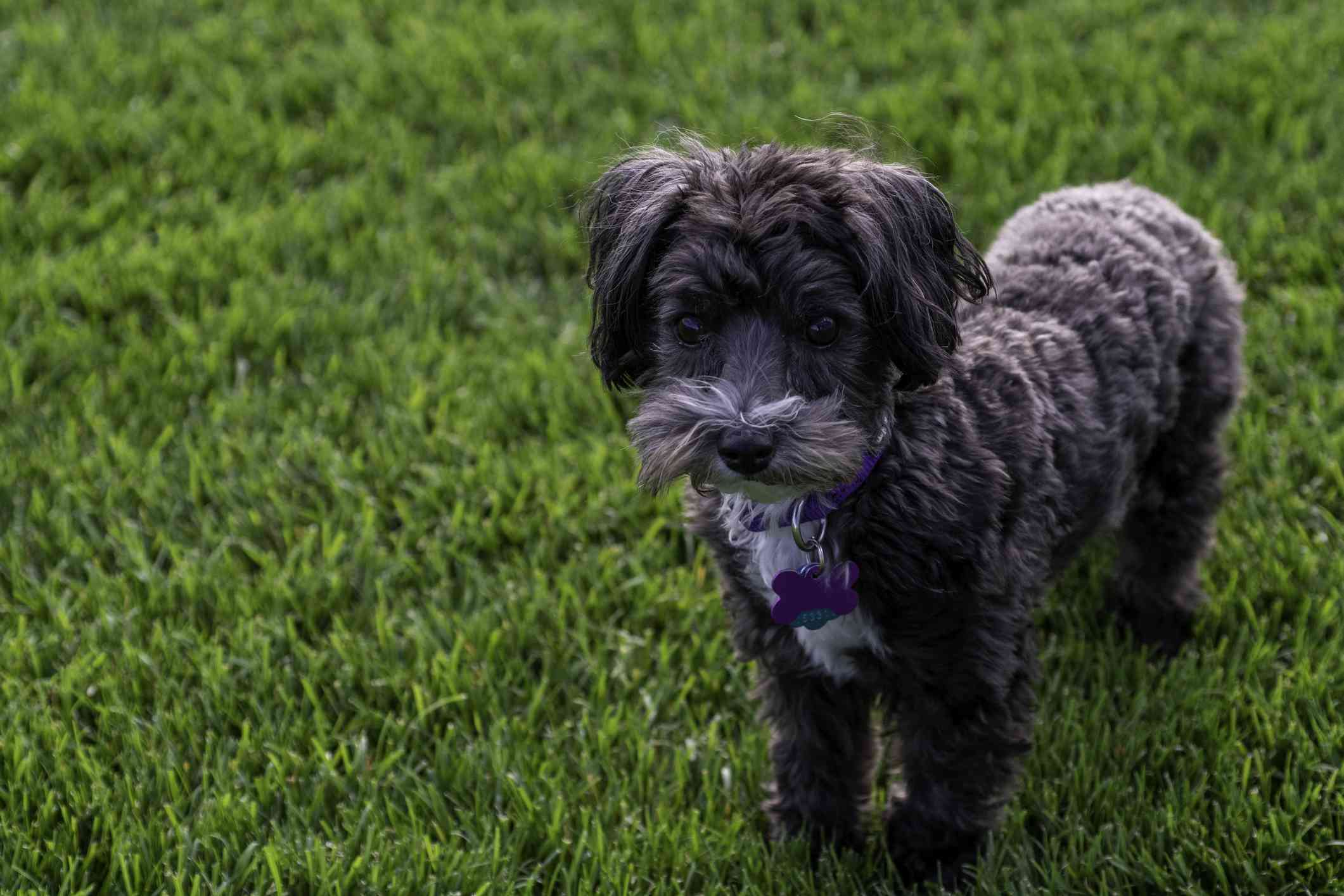 Black maltipoo standing in the grass