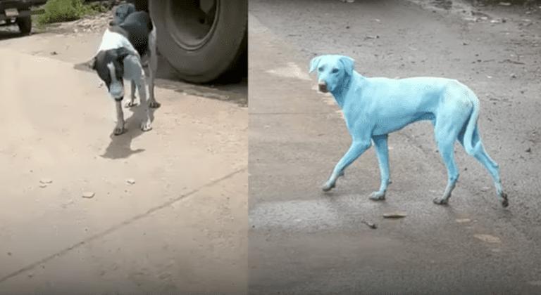 ¿Por qué los perros se vuelven azules en la India?