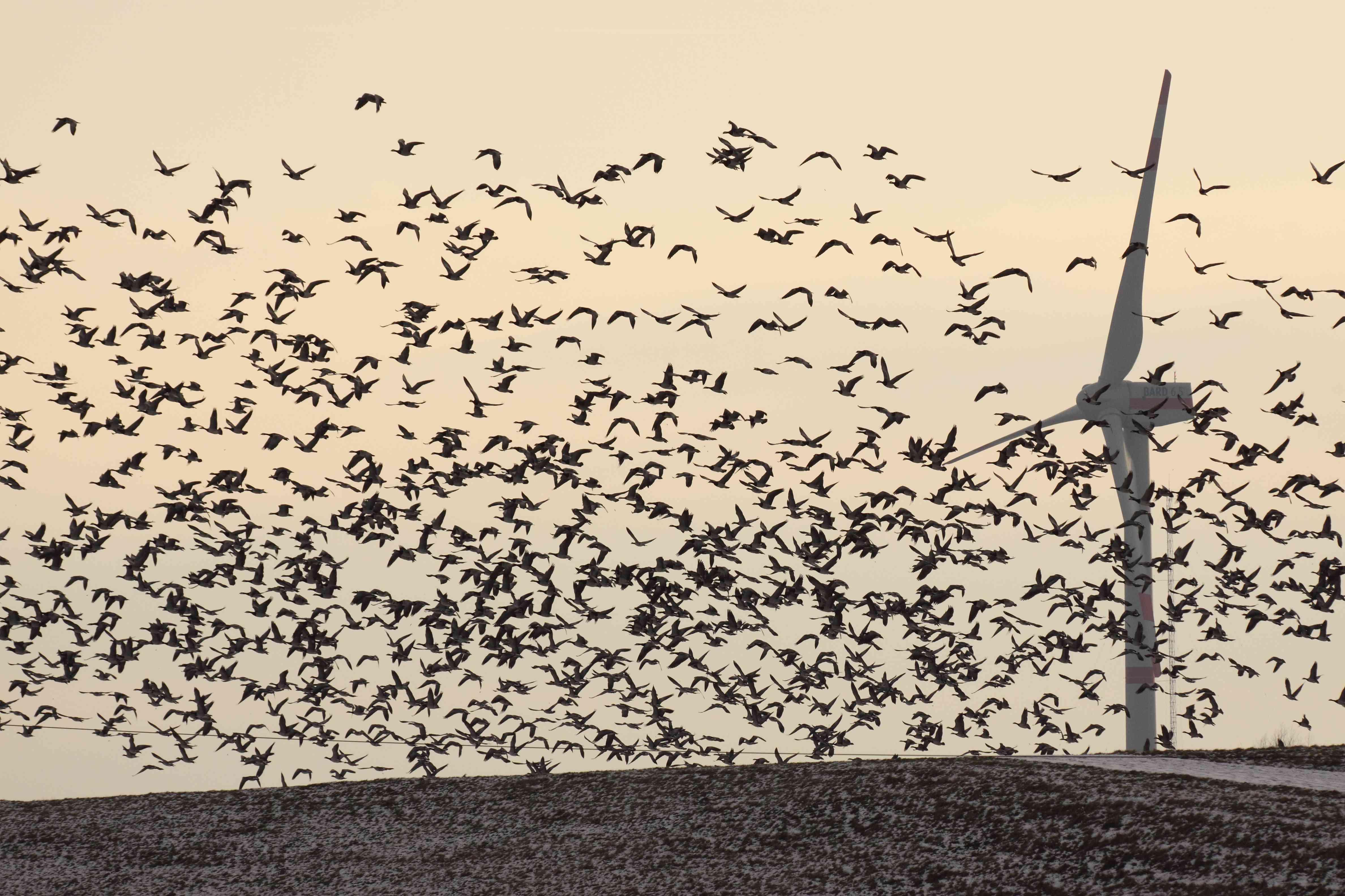 flock of birds flying near wind turbine