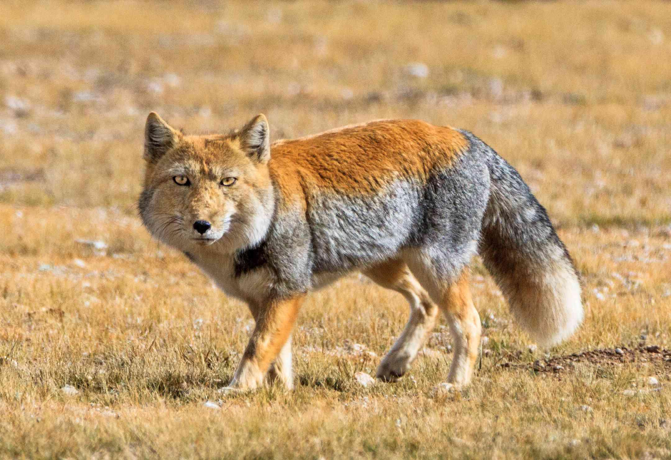 Tibetan sand fox walking in northern Tibet