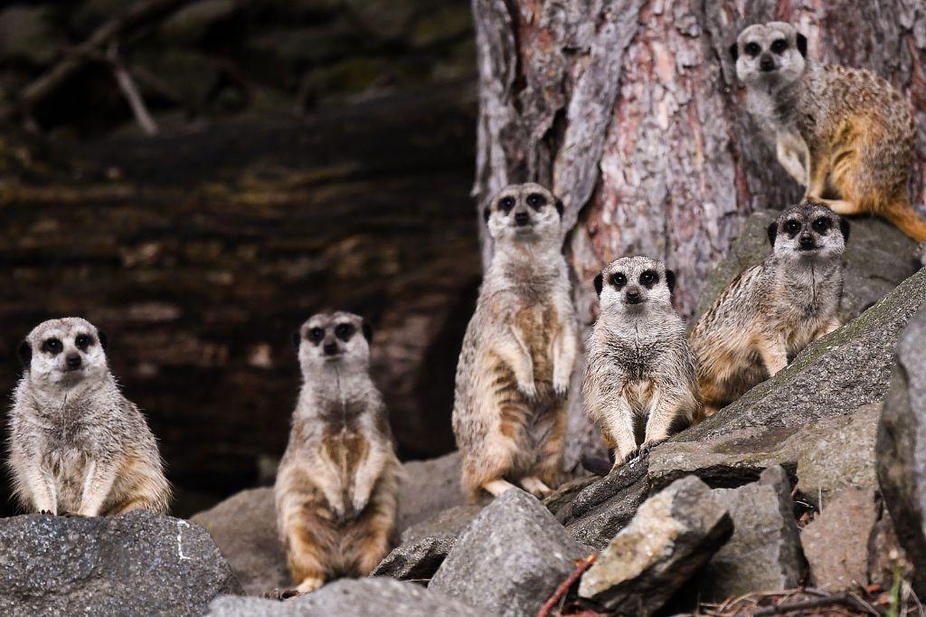 A group of meerkats observe the camera.