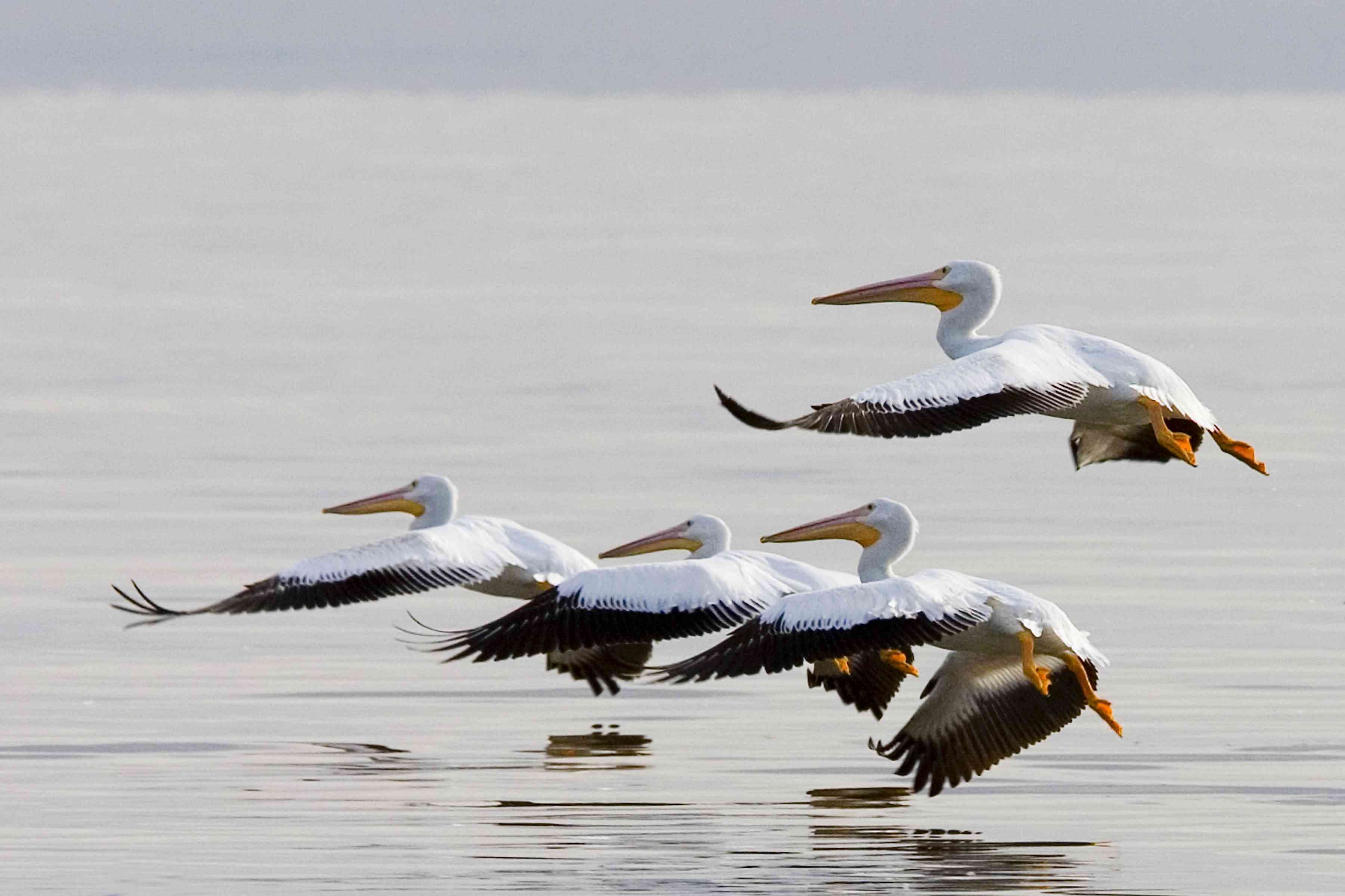 four white pelicans with orange beaks and webbed feet in flight right above the flat water of the Salton Sea