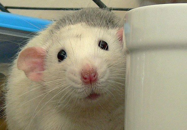Rats deserve to be treated humanely, even when we humans need to eliminate them from sharing our space
