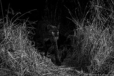 A black leopard steps into a camera trap set near some tall grass