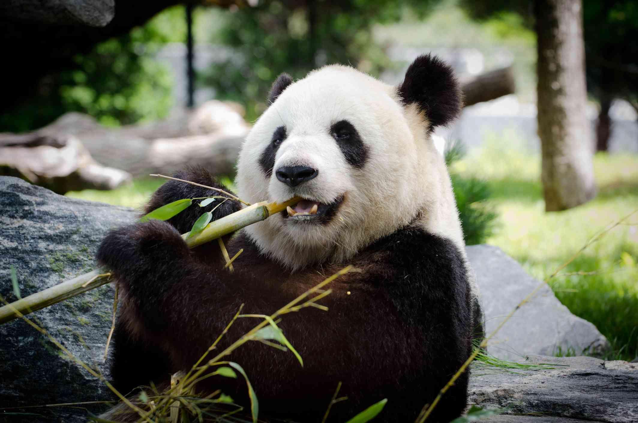 giant panda eats bamboo