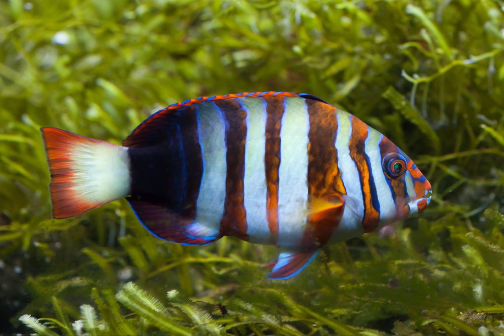 An orange and white4 striped harlequin tuskfish swimming near green seagrass