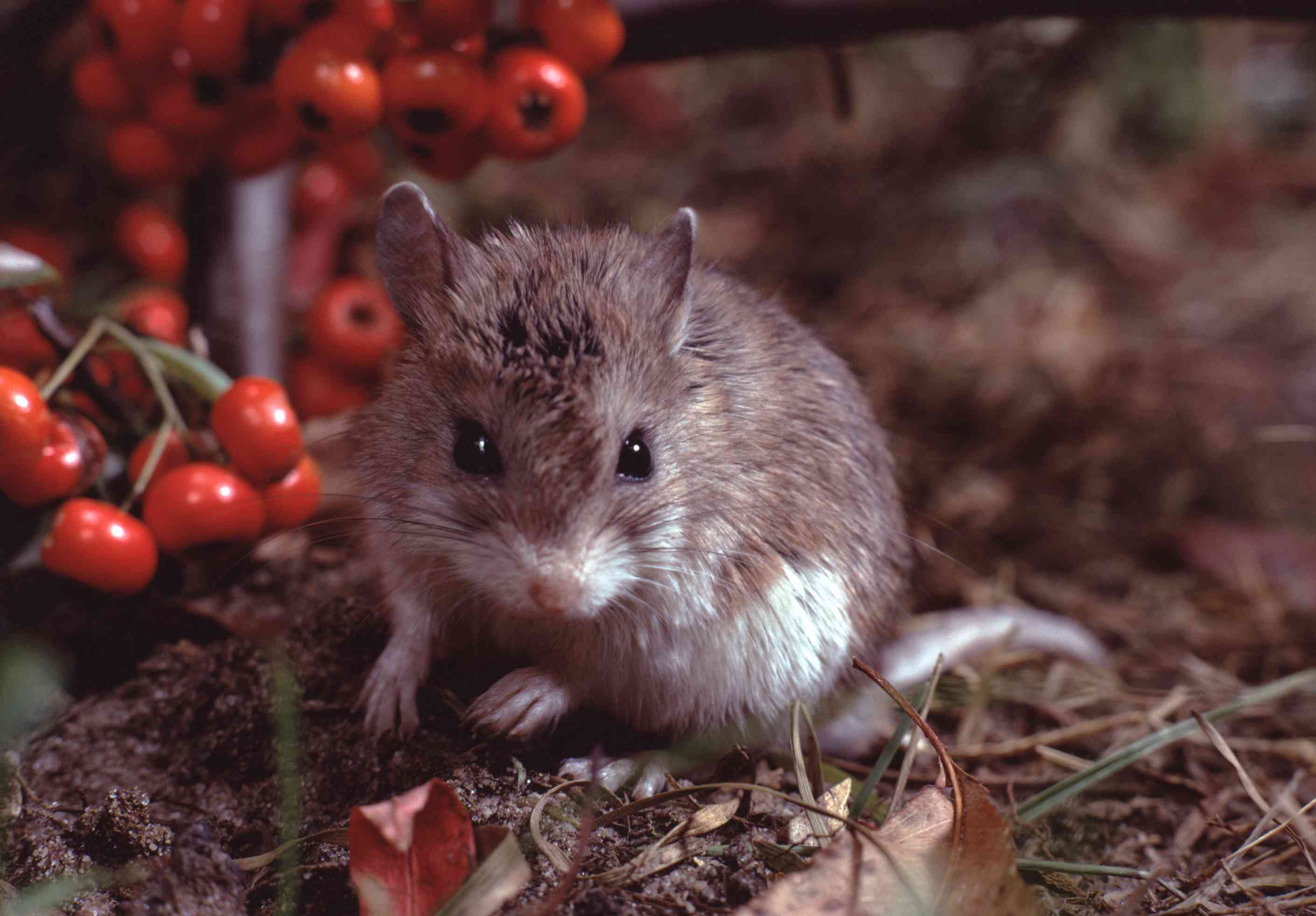 grasshopper mouse on ground surrounded by red berries
