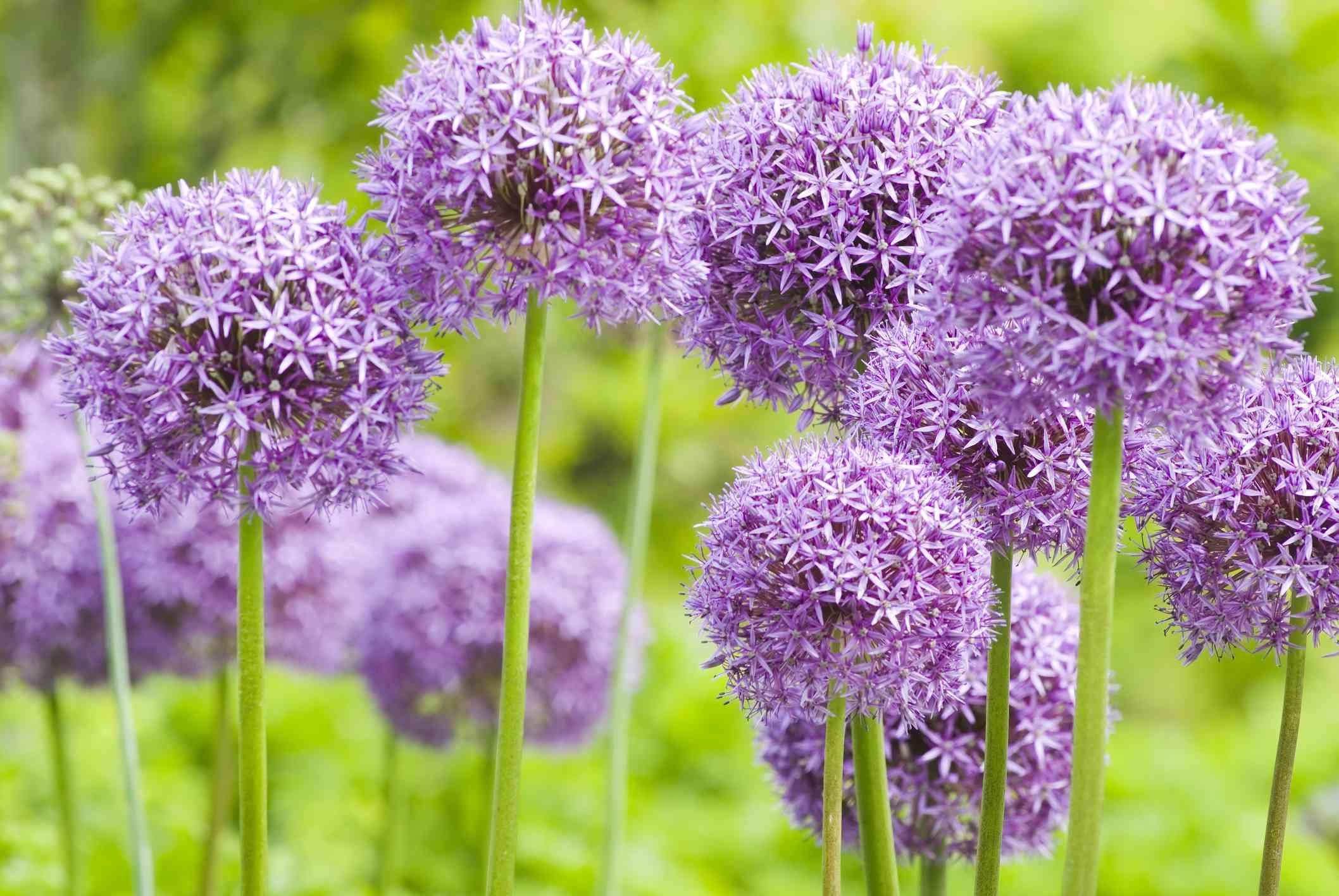 Purple, bulbous allium blooms growing in a bunch