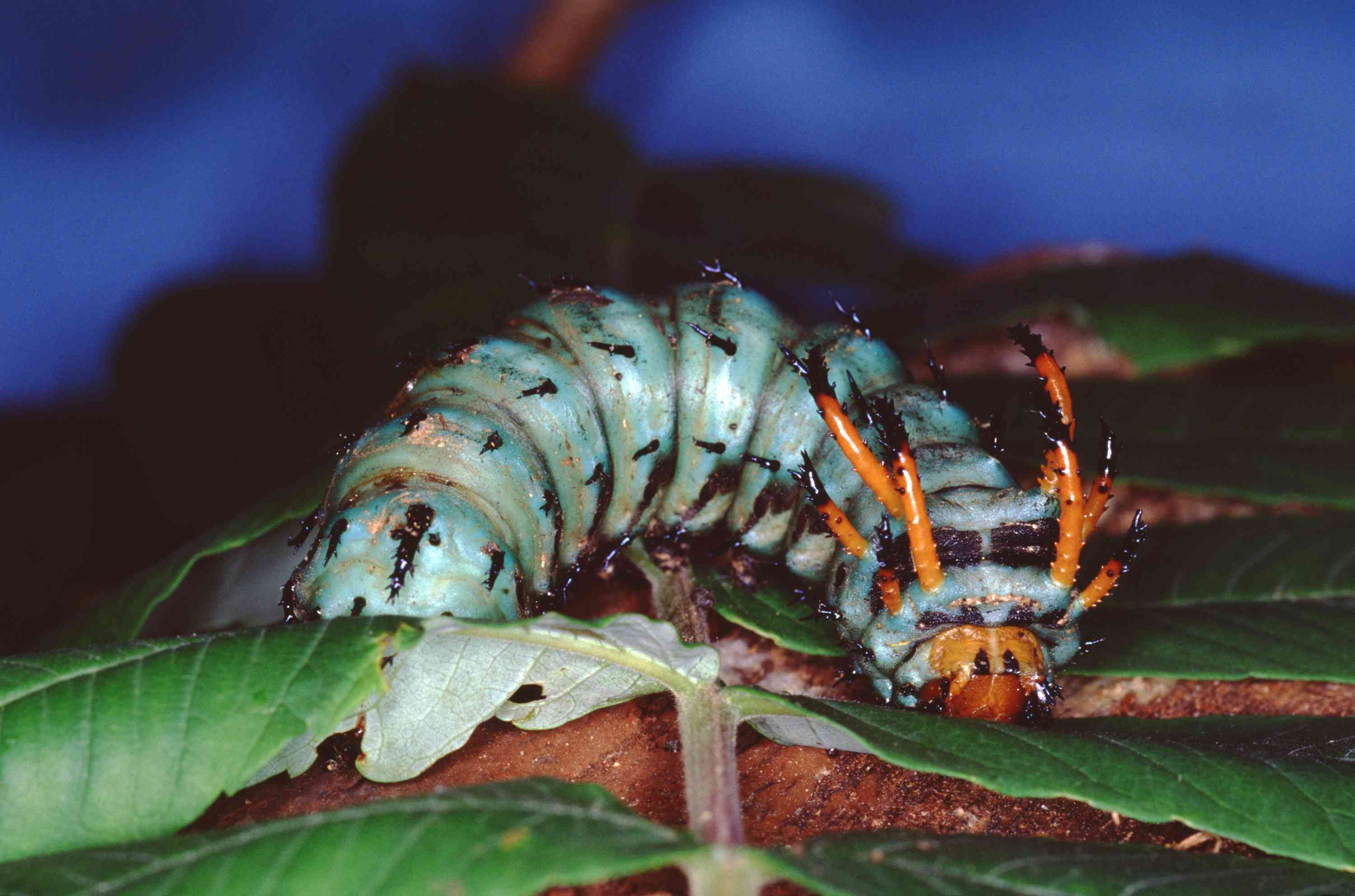 Green and black hickory horned devil caterpillar with orange/red spikes on a green leaf