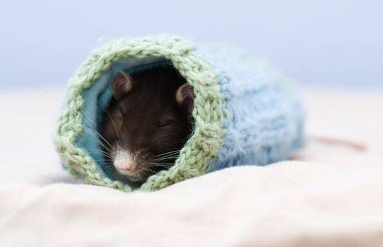 A rat sleeps curled up in a tube of yarn