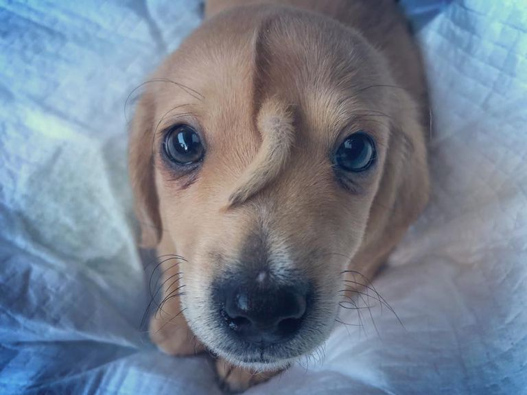 Puppy with extra tail growing between his eyes