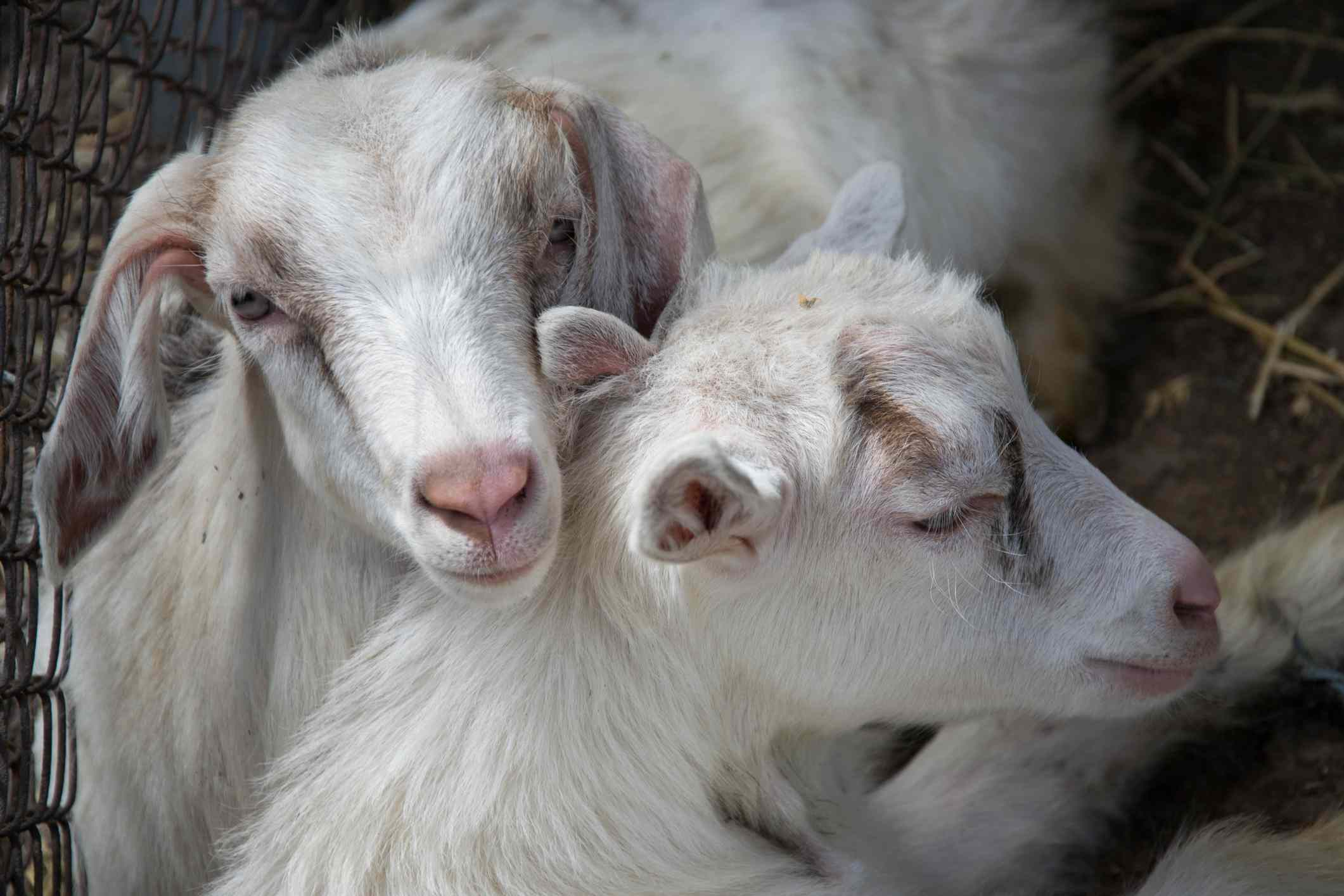 Two goats nuzzling next to a fence