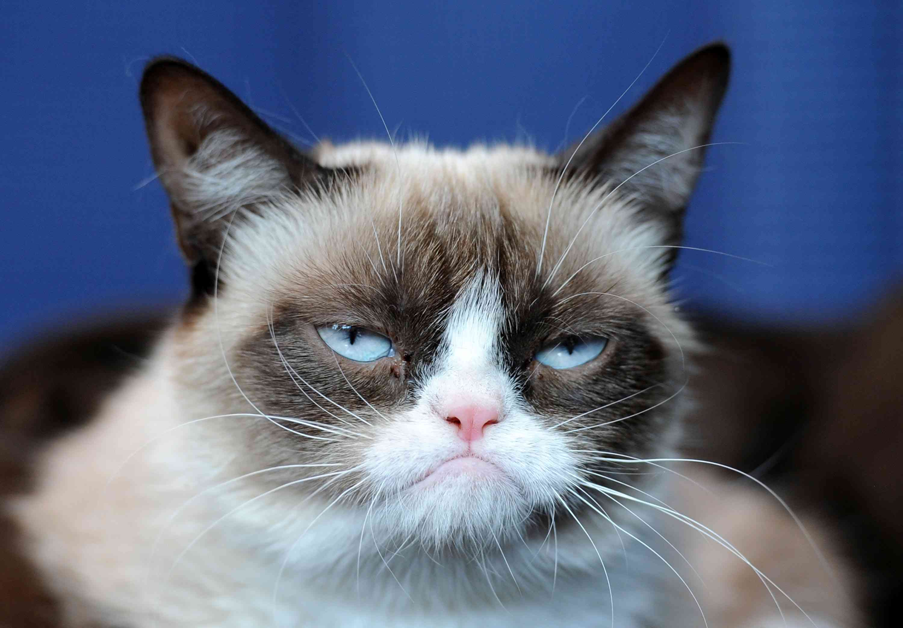 frontal headshot of scowling grumpy cat on blue background