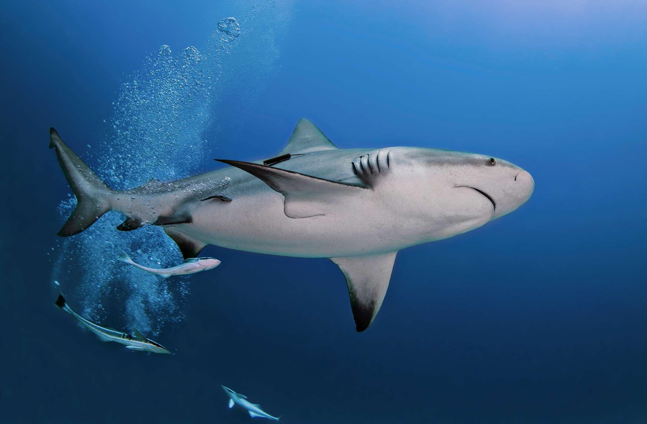 A pregnant bull shark swims off the coast of Playa del Carmen, Quintana Roo, Mexico.