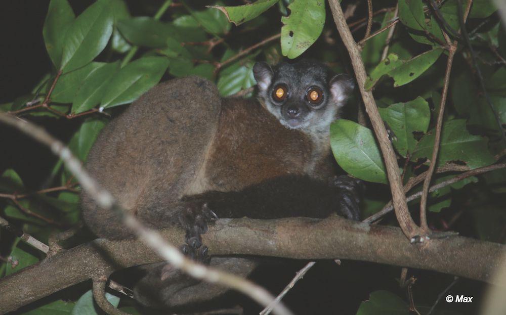 James' Sportive Lemur