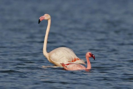 african flamingo turkey wetlands gediz delta photo