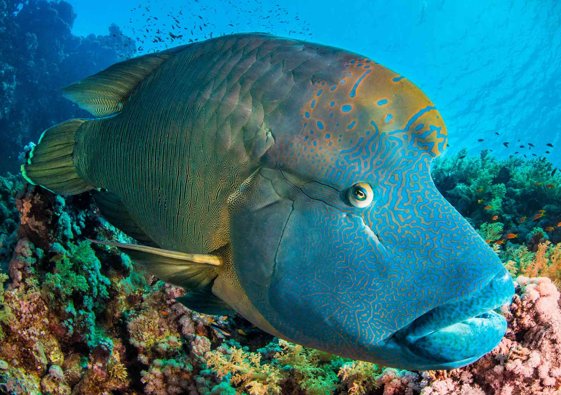 A blue-faced humphead wrasse on a colorful coral reef.