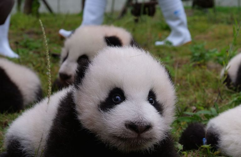 36 bebés pandas gigantes hacen su debut público en Roly-Poly